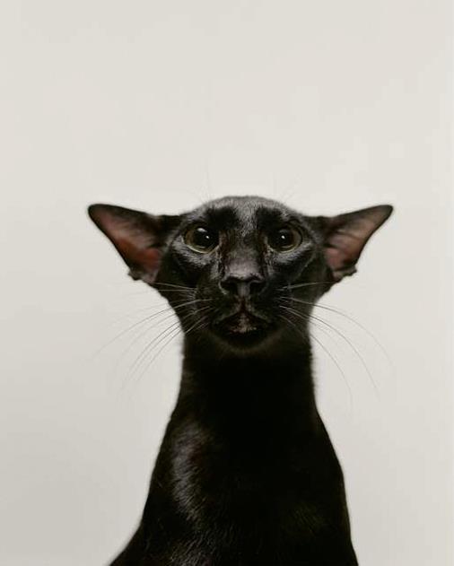 crna maca skica